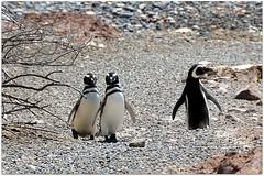 Il est vrai pourtant que certains passages de leur trajet ressemblent aux Champs Elysées. (Barbara DALMAZZO-TEMPEL) Tags: argentine patagonie pinguin chubut valdès puntotombo pêche océanatlantique manchotdemagellan
