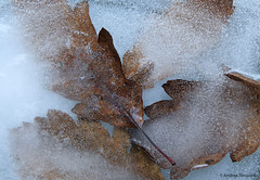 Frozen Leaves (manxmaid2000) Tags: blue winter brown cold ice water leaves frozen leaf frost freezing freeze icy icebound