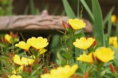 DSC01231 (Donovan Vest) Tags: flowers yellow canon garden spring zoom bokeh sony 7 telephoto fd 80200mm adg nex albinar f39