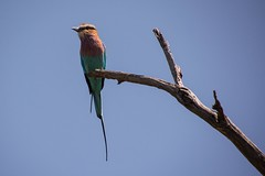 Lilac-breasted Roller  (4) (Barbara Evans 7) Tags: community barbara area roller botswana lilacbreasted khwai evans7