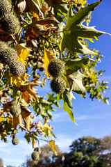 Chestnuts! (nzcarl) Tags: blue autumn sky plant tree outdoor fallcolors sony bluesky chestnuts sonyrx100