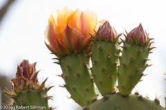 Cactii blooms-2169 (rob-the-org) Tags: macro iso100 noflash 100mm cropped blooms f80 desertbotanicalgarden cactii phoenixaz 1125sec