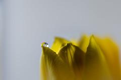 Viewfinder-4 (sven.vansantvliet) Tags: blue shadow sky flower macro colors yellow fleurs jaune drops weide couleurs schaduw geel bloem druppel macrophotography tulp kleuren tullip paardebloem boterbloem pisbloem macrofotografie lentebloesembloemenbijhuis