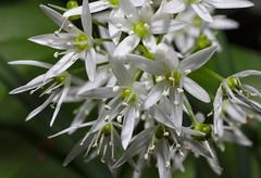 Ramsons (stanzebla) Tags: macro wildflowers makro ramsons alliumursinum brlauch aildesours wildblumen