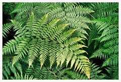 frondes de fougres (Anita Waters) Tags: film 35mm rainforest fuji superia olympus 400 simplicity tropical ferns minimalism fronds xtra filmphotography om2n narrabeenlagoontrail