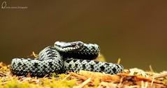 Male Scottish Adder (Lesley4444) Tags: sun nature wildlife venomous basking