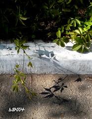 / Vadszl s az rnyka / Wild grapevine and its shadow (ruta / ) Tags: shadow wild plant spring urbannature grapes grapevine