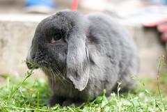 DSC_0081 1 (divi333) Tags: rabbit bunny ferrara coniglio 2016 conigliando