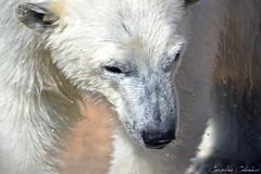 Hope (Kataaku) Tags: bear france underwater caroline polar antibes marineland ours polaire flocke catenacci 2013 kataku kataaku