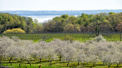 _DSC2172 Old Mission Peninsula (Charles Bonham) Tags: trees landscape cherries wine blossoms scenic orchard lakemichigan grapes cherryblossoms agriculture cherrytrees grandtraversebay oldmissionpeninsula winegrapes cherryorchards charlesbonhamphotography