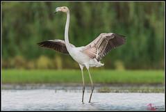 Fenicottero (torben84) Tags: lake river lago nikon riva natura tamron phoenicopterusroseus fenicotteri phoenicopterus roseus naturaloasis 150600 d7200