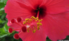 20140918_03 Hibiscus pollen & stuff | Monaco (ratexla) Tags: life travel pink flowers vacation favorite plants holiday plant flower macro travelling nature beautiful europe riviera bokeh earth rosa monaco pistil hibiscus journey stamen blomma traveling pollen makro blommor interrail semester interrailing tellus 2014 organism pollengrains catchycolorspink eurail tgluff gsgs europaeuropean almostanything tgluffning tgluffa unlimitedphotos eurailing earthporn photophotospicturepicturesimageimagesfotofotonbildbilder resaresor canonpowershotsx50hs 18september2014 ratexlasantibestrip2014