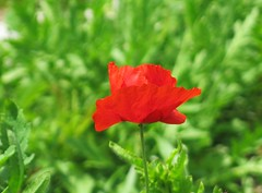 Cylburn Arboretum ~ Poppy stand out - HBW! (karma (Karen)) Tags: flowers dof bokeh maryland baltimore poppy brightcolors cylburn 4spring arboretums hbw cmwd bokehwednesdays