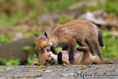 Kits Will Be Kits! (Red Fox) (Mitch Vanbeekum Photography) Tags: red wild baby nature newjersey babies wildlife young nj fox kits kit redfox vulpesvulpes morriscounty canonef500mmf4lisiiusm canoneos1dx mitchvanbeekum mitchvanbeekumcom