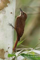Plain-brown Woodcreeper (Brian Lasenby) Tags: dendrocinclafuliginosa climb color gamboa hunt nature centralamerica trunk woodcreeper plainbrownwoodcreeper behaviour animal stalk trees plant brown wildlife tree eat forest bird forage panama gamboarainforest rainforest environment places