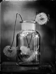Dandelion (Nagy Krisztian) Tags: dandelion collodion wetplate negative 18x24cm glass