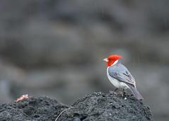 Brazilian Red-crested Cardinal (nevadoyerupaja) Tags: ocean sea usa bird beach rain rock fauna landscape dead death hawaii coast spring crab shore kauai raining avian redcrestedcardinal brazilianredcrestedcardinal