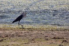 White-necked Heron (Luke6876) Tags: bird heron animal wildlife australianwildlife whiteneckedheron
