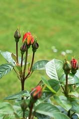 DSC_1580 Rose Buds (PeaTJay) Tags: flowers roses plants macro nature rose gardens fauna outdoors reading flora micro closeups berkshire rosebuds lowerearley nikond750