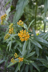 Asclepias Tuberosa (Flowers Galore) Tags: flowers nature garden spring butterflyweed asclepiastuberosa perennialbloomer antattractant monarchbutterflyattractant