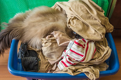 Dirty Laundry (wayne kimbell) Tags: cat laundry himalayan bobbarama