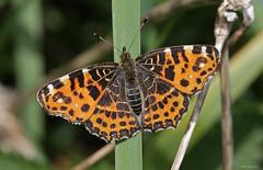 Landkrtchen Frhjahrsversion (svensonkra26) Tags: butterfly outdoor insekt schmetterling landkrtchen tagfalter edelfalter