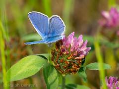 Common Blue / Hauhechel-Bluling (Polyommatus icarus) (ralph_behrens) Tags: butterfly olympus omd schmetterling oly commonblue polyommatusicarus hauhechelbluling tagfalter weseraue omdem1 olympusomdem1 300mmf4pro