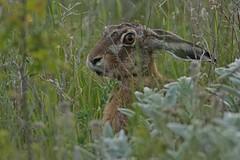 Rolf_Nagel-Fl-0846-Lepus_europaeus (Insektenflug) Tags: brown fauna mammal hare european sweden wildlife schweden sverige hase land sugetier europaeus lagomorpha leporidae lepuseuropaeus lepus feldhase flthare