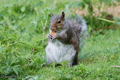 Grey Squirrel (parry101) Tags: wales forest grey squirrel squirrels farm south cardiff whitchurch