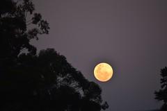 Full (mara.arantes) Tags: sky moon tree yellow digital ball nikon flickr cu lua cheia
