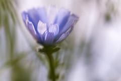 Blte (Sascha Wolf) Tags: blte blau blume bokeh natur outdoor