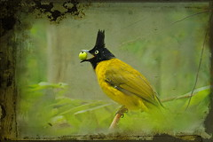 Black-crested Bulbul (ulli_p) Tags: asia art artofimages aworkofart awardtree bird bulbul colours canoneoskissx5 exoticimage flickraward green isan jungle light likeapainting macro nature ruralthailand southeastasia thailand texture textured texturedphoto