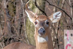 2016 White-tail Buck (DrLensCap) Tags: county white chicago robert animal forest mammal spur illinois woods district tail cook trails il trail rails to buck preserve kramer weber preserves whitetail labagh
