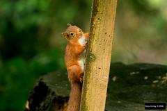 Red Squirrel (Sciurus vulgaris) (Dave 2x) Tags: sciurusvulgaris sciurus vulgaris redsquirrel red squirrel eurasianredsquirrel eurasian doddwood bassenthwaitelake lakedistrict cumbria england uk leastconcern