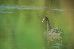 Cygne noir (Richard Holding) Tags: bird blackswan cygnusatratus cygnenoir