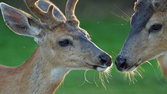 Whispering Deer... (photosauraus rex) Tags: canada animal vancouver bc deer youngdeer deerinthewild