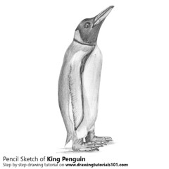 How to Draw a King Penguin with Pencils [Time Lapse] Step by Step Tutorial on http://bit.ly/2aER7aV Total Time: 2 hours Pencils: HB, 2B, 4B (drawingtutorials101.com) Tags: king penguin penguins animals antarctic peruvian aptenodytes patagonicus pencil drawings sketching sketches sketch how draw with pencils black white grey