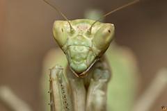 Ameles Green (Rinaldo R) Tags: amelesspallanzania mantodea mantide spallanzani mantidae amelini ameles insect mpe canon6d canonmpe65mm15x macro closeup focusstacking handheld canonmpe animale manolibera stack zerene mantis