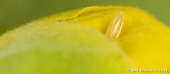 The Golden Egg - Cloudless Sulphur (Phoebis sennae) egg on Cassia flowerbud R4394 RanchoSantaMargaritaCA HD (www.PhotographsFromNature.com) Tags: butterfly insecta lepidopterabutterfliesmoths macrophotography naturephotography photographerjaycossey sulphur cloudlesssulphur phoebissennae butterflyegg thegoldenegg