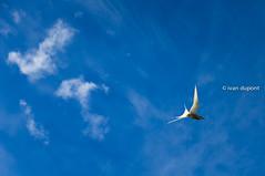 Be careful when you face an Arctic Tern, Iceland (monsieur I) Tags: arctictern bird birds blue bluesky iceland intheair monsieuri nature roadtrip summer