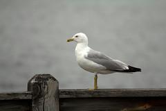 Seagull (BenG94) Tags: seagull seagulls rhinelander wisconsin canon 60d canon60d lake pier boomlake