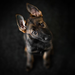 Ralph, practicing head tilt (DigitalBite) Tags: puppy gsdpuppy gsd germanshepherddog sable workinglinegsd headtilt cute portrait dogphotography dog