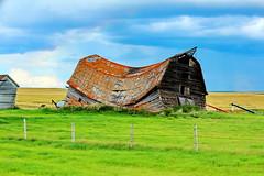 HFF! A collapsed Prairie barn (peggyhr) Tags: peggyhr happyfencefriday oldbarn collapsed prairies fence img6297a alberta canada textures colours super~sixbronzestage1 thegalaxy super~sixstage2silver thegalaxyhalloffame