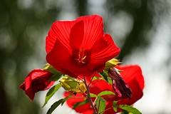 タイタンビカス/Hibiscus 'Taitan' (nobuflickr) Tags: タイタンビカス hibiscustaitan アオイ科 アメリカフヨウとモミジアオイとの交配種 20160720dsc04600 awesomeblossoms