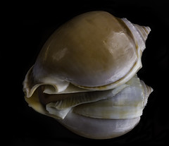Reflecting On Shapes And Folds In A Small Shell (Bill Gracey) Tags: shell seashell nature macrolens macrophotography shapes folds offcameraflash blackbackground reflection mirror filllight yongnuorf603n yn560iii softbox homestudio naturalbeauty naturephotography
