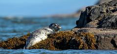 Babies of most creatures are beautiful or at the very least (island deborah- nature website deborahfreeman.ca- ) Tags: baby seal salish sea