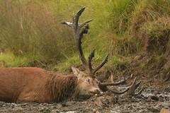 It feel good (Ratsiola) Tags: deer reddeer rut nature richmondpark