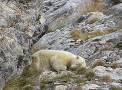 polar bear at Nordenskild glacier (sea-breeze) Tags: 2016 longyearbyen norway arctic svalbard spitsbergen polar bear