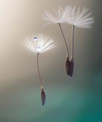 Freefalling (kimberley. Finding art in nature) Tags: floral artsy dandelion unique pennsylvania pentax pastel surreal nature droplet rain macro