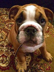 My neighbours new puppy! (sandy hayes) Tags: cute puppy englishbulldog